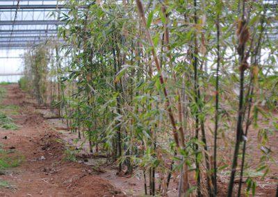 Bambù1